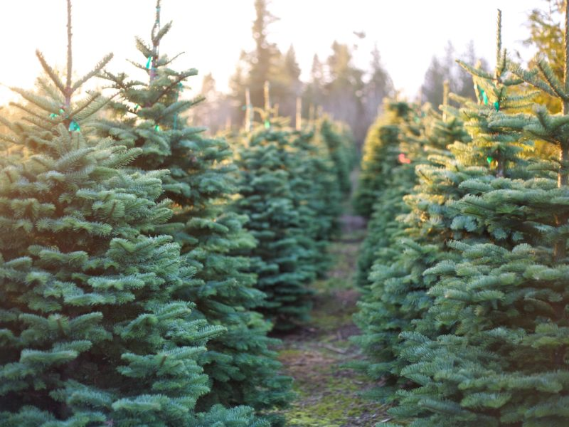 rows of live christmas trees on a tree farm