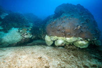 Corals at the East Bank reef in the Flower Garden Banks National Marine Sanctuary show a distinct mortality line, with dead white coral below and living brown coral above.