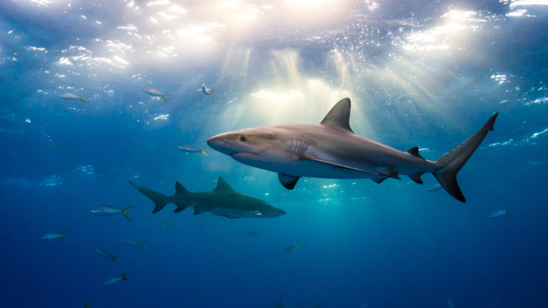 Caribbean reef sharks and sun rays