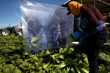 Farm laborers harvest romaine lettuce on a machine with heavy plastic dividers that separate workers from each other
