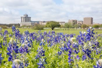bluebonnets with campus buildings in background