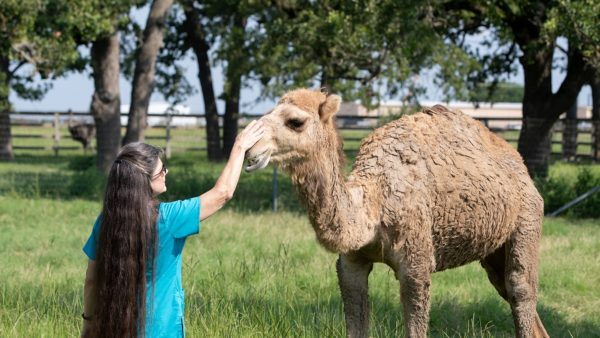 a woman pets the snout of a camel standing in grass surrounded by trees