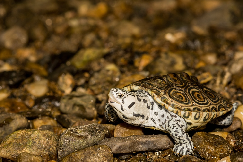 A close up of a juvenile Northern Diamondback Terrapin. (Getty Images)